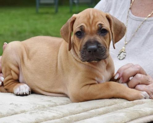 Come scegliere un cucciolo di Rhodesian Ridgeback